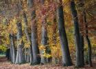 Autumn Beeches I