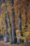 Autumn Beeches II