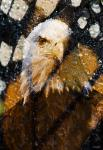 American Bald Eagle I