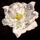1 Tulip - Angelique