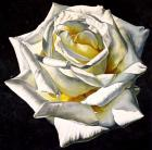 1 White Rose- Yellow Center