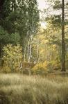 Autumn Aspen - White Tailed Deer