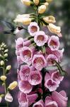 Hummingbirds - Foxgloves