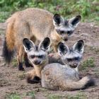 Three Bat-Eared Foxes, Tanzania