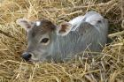 Baby Calf, Cow, Farm Animal, Orissa, India