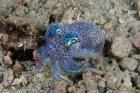 Bobtail squid marine life