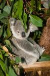 Australia, Brisbane, Fig Tree Pocket, Koala Bears
