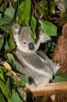 Australia, Brisbane, Fig Tree Pocket, Koala Bears
