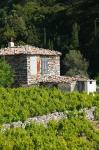 Vineyard, Vourliotes, Samos, Aegean Islands, Greece