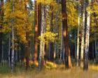 Aspen And Ponderosa Trees In Autumn, Deschutes National Forest