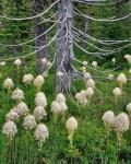 Beargrass Around Dead Evergreen, Oregon