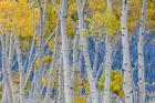 Aspen Trees In Autumn, Utah