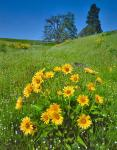 Balsamroot, Pine And Oak Trees On A Hillside, Washington State