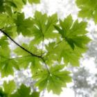 Big Leaf Maples In Summer