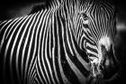 Zebra II Black & White