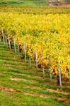 Vineyard, Ozenay, Maconnais, Saone-et-Loire, Burgundy, France