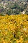 Vineyards, Collioure, Vermillion Coast, Pyrennes-Orientales, Languedoc-Roussillon, France