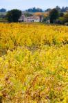 Vineyards in autumn, Montagne, Gironde, Aquitaine, France