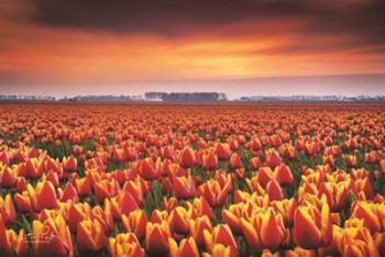 Dramatic Tulips | Obraz na stenu